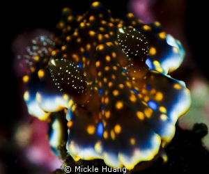 Glistening Nudibranch__Ceratosoma sinuatum Northeast Coa... by Mickle Huang