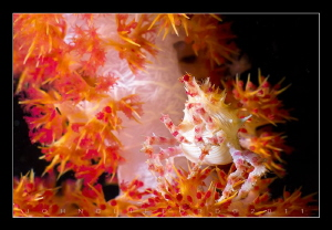Soft Coral Crab by John Clifford