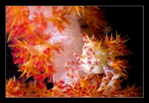 Soft Coral Crab by John Clifford