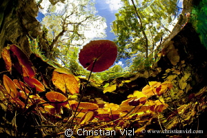 Water plants and trees at Grand Cenote, Quintana Roo, Méx... by Christian Vizl