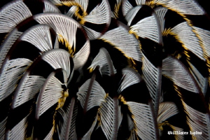 Crinoid by William Loke