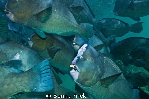 This school of green humphead parrotfish had their home i... by Benny Frick