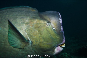 A green humphead parrotfish in Sipadan. I used a Canon 5D... by Benny Frick