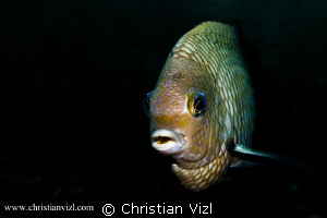 Portrait of a Damselfish found in Manzanillo, Ixtapa, Mex... by Christian Vizl
