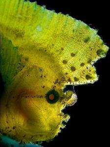 """""""Leaf Fish""""   Backlit. by Henry Jager"""