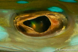 The magic eye of a red cornetfish!!! by Bernardo Mello