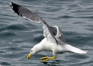 Yellow-legged Gull in action - first step by Mathieu Foulquié