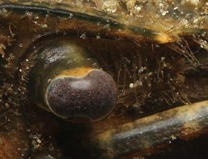 crayfish eye. Lake Schöhsee. EOS 600D, 60mm, DS-160 f/... by Chris Krambeck