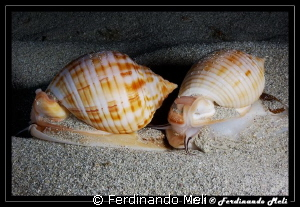 Gasteropod's couple by Ferdinando Meli