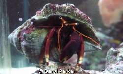 red legged hermit from my aquarium practiceshot with macr... by Daryl Parker