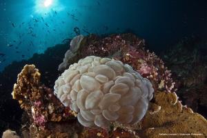 Bubble coral by Raffaele Livornese