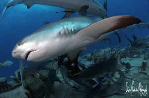 The Reef Sharks seem to be very agile and quick in moveme... by Steven Anderson