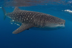 A huge whale shark feeding in Mexico by Spencer Burrows