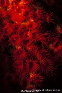 Red Sea Anemone found in Sacramento, Ixtapa, Mexico. by Christian Vizl