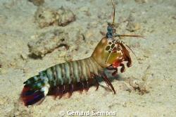 Odontodactylus scyllarus by Gerhard Siemons