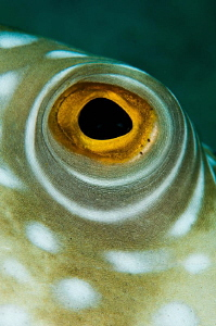 Pufferfish Eye by Paul Colley