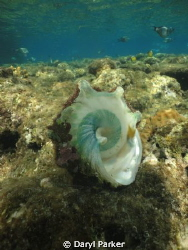shell of a cone snail whilst snorkling, by Daryl Parker
