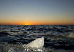 Sunset at Tiger Beach, Bahamas. The lemon sharks are sayi... by Matt Heath