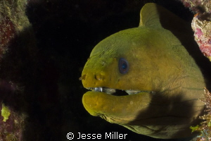 Green Moray by Jesse Miller