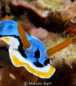 Chromodoris annae by Marylin Batt