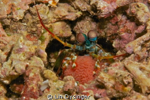 Mantas Shrimp with egg ball by Lin Dysinger