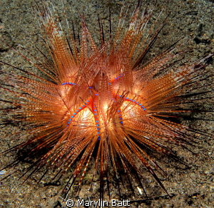 Fire urchin but unusual color more golden than red. by Marylin Batt