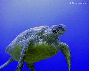 Green Turtle at 20m, no strobe. Rapae Wall, Aitutaki, Coo... by Blair Morgan