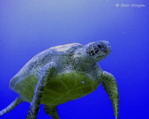 Green Turtle at 20m, no strobe. Rapae Wall, Aitutaki, Coo... by Blair Morgan