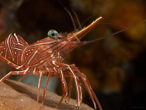 Bruce's Hinge-beak Shrimp by John Roach