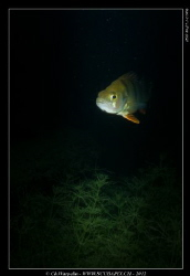 Snoot Trial ... on a European Perch ... by Christophe Warpelin