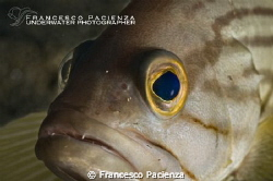 Grouper portrait. by Francesco Pacienza