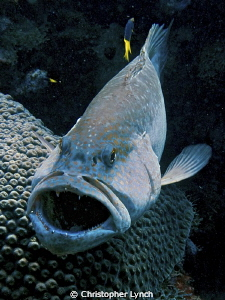 Tiger Grouper at a cleaning station ... you can see the s... by Christopher Lynch