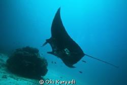 manta fish at manta sandy west papua indonesia by Oki Karyadi