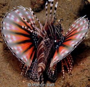 Twinspot Lion fish by Marylin Batt
