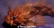 scorfano by Scozio Salvatore
