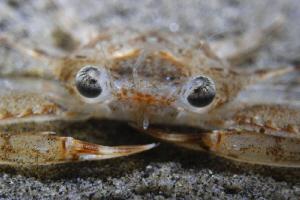 Crab portrait on night dive. F4  1/100 Iso 100 by Adolfo Maciocco