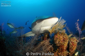 Caribbean Reef Shark, Magnificent but misunderstood by Pedro Padilla