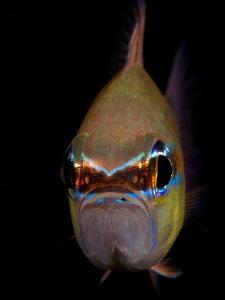 Ring-Tail Cardinalfish by Iyad Suleyman