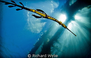 A slightly different perspective of a weedy seadragon. by Richard Wylie