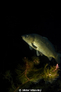Carp in the night by Viktor Vrbovský