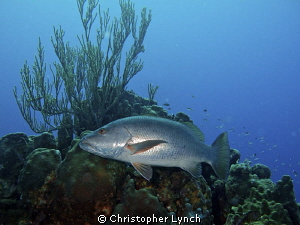 Large cubera snapper leaving  a cleaning station by Christopher Lynch