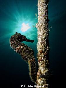 red sea horse by Ladislav Nogacek