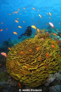 Coral garden & Diver Jackson reef by Adolfo Maciocco