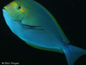 Surgeonfish up close and personal at Shark Reef Marine Re... by Blair Morgan