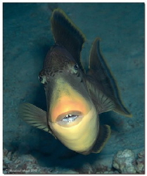 Yellowmargin triggerfish attacking the photographer. by Reinhard Arndt