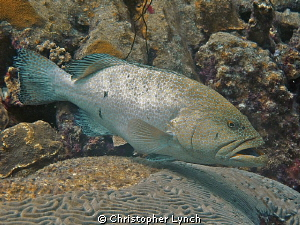 large  tiger grouper at a deep cleaning station by Christopher Lynch