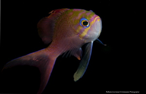 ANTHIAS ANTHIAS by Raffaele Livornese