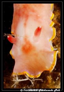 Nudibranchs... jewels of the sea! by Ferdinando Meli