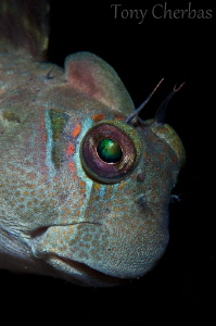 These Blennies look black from a distance.  But if you ma... by Tony Cherbas