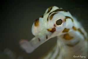 Cute guy (Corythoichthys sp.) by Raoul Caprez
